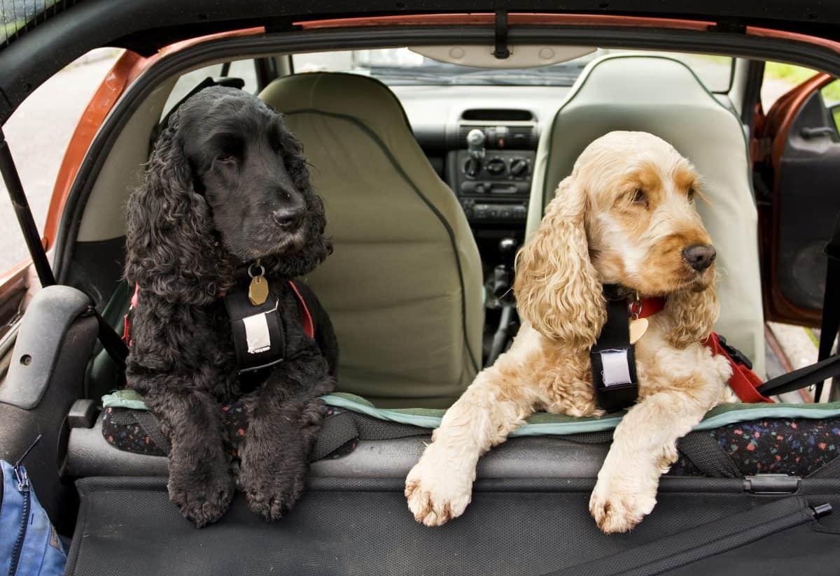 Pies w samochodzie - jak bezpiecznie przewozić psa?