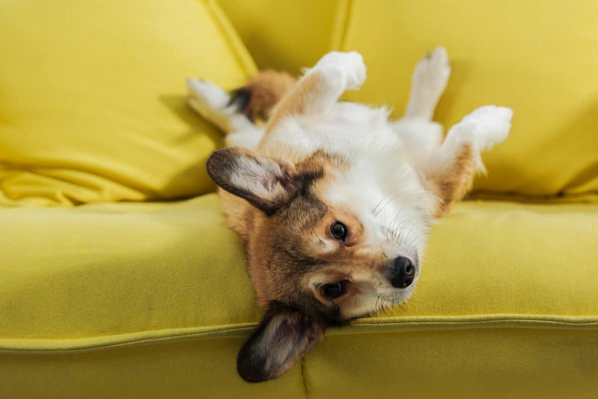 Adoptowany pies może na początku załatwiać się w mieszkaniu.