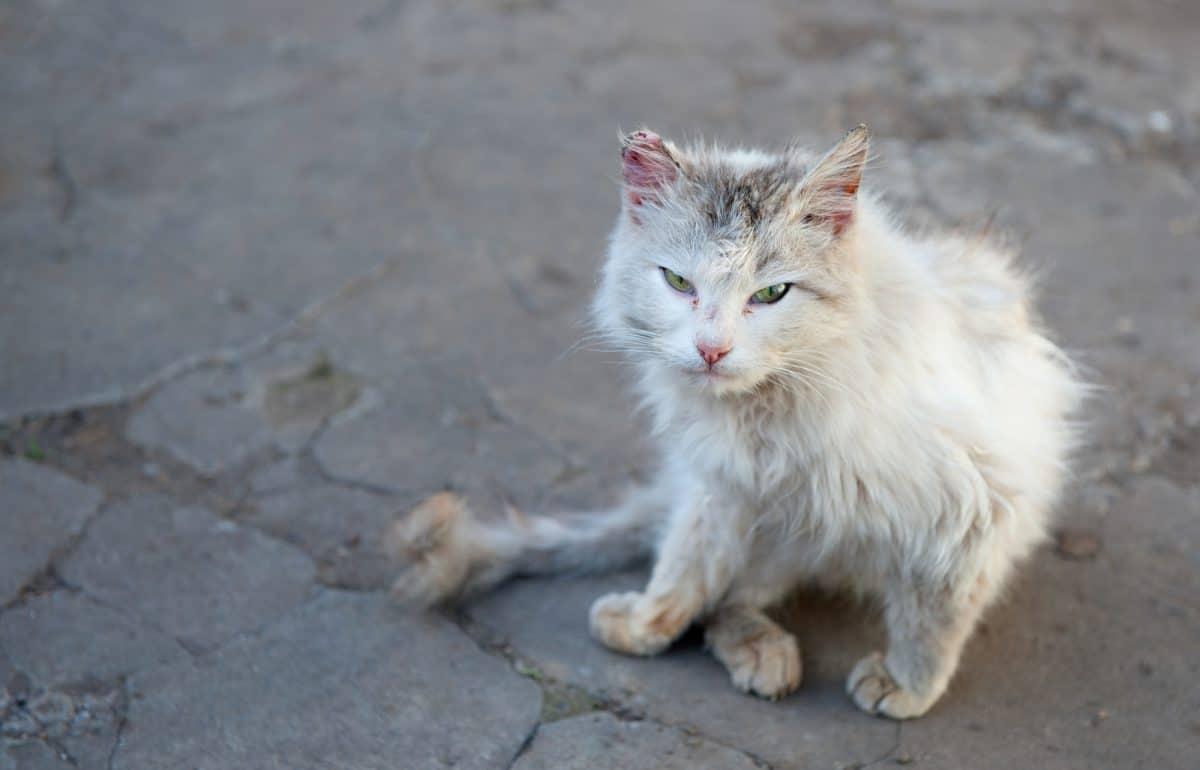 Choroby kotów wolno żyjących wynikają z niedożywienia i wychłodzenia.