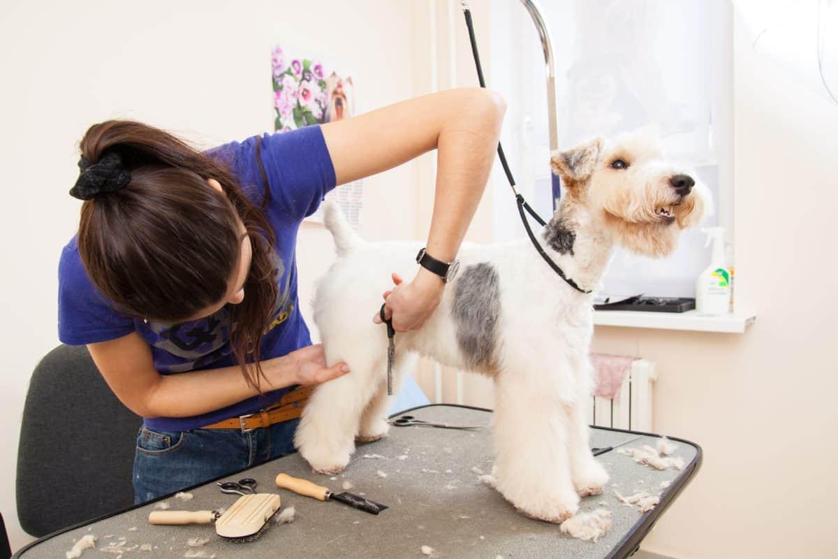 Groomer zajmuje sie pielegnacją psiej sierści.