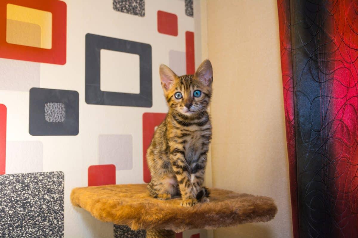 Jak wychować kociaka? Zaspokoić potrzebę drapania.