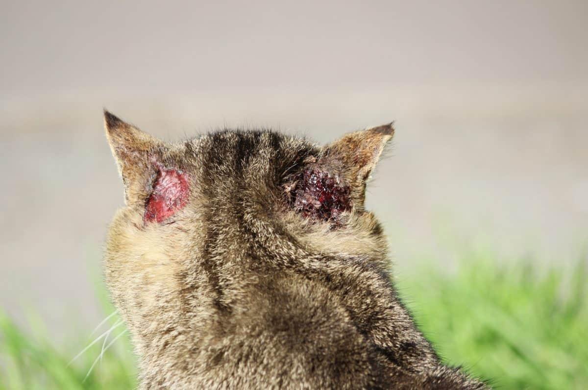 FIV najczęściej rozprzestrzenia się wsród kotów wolnożyjących.