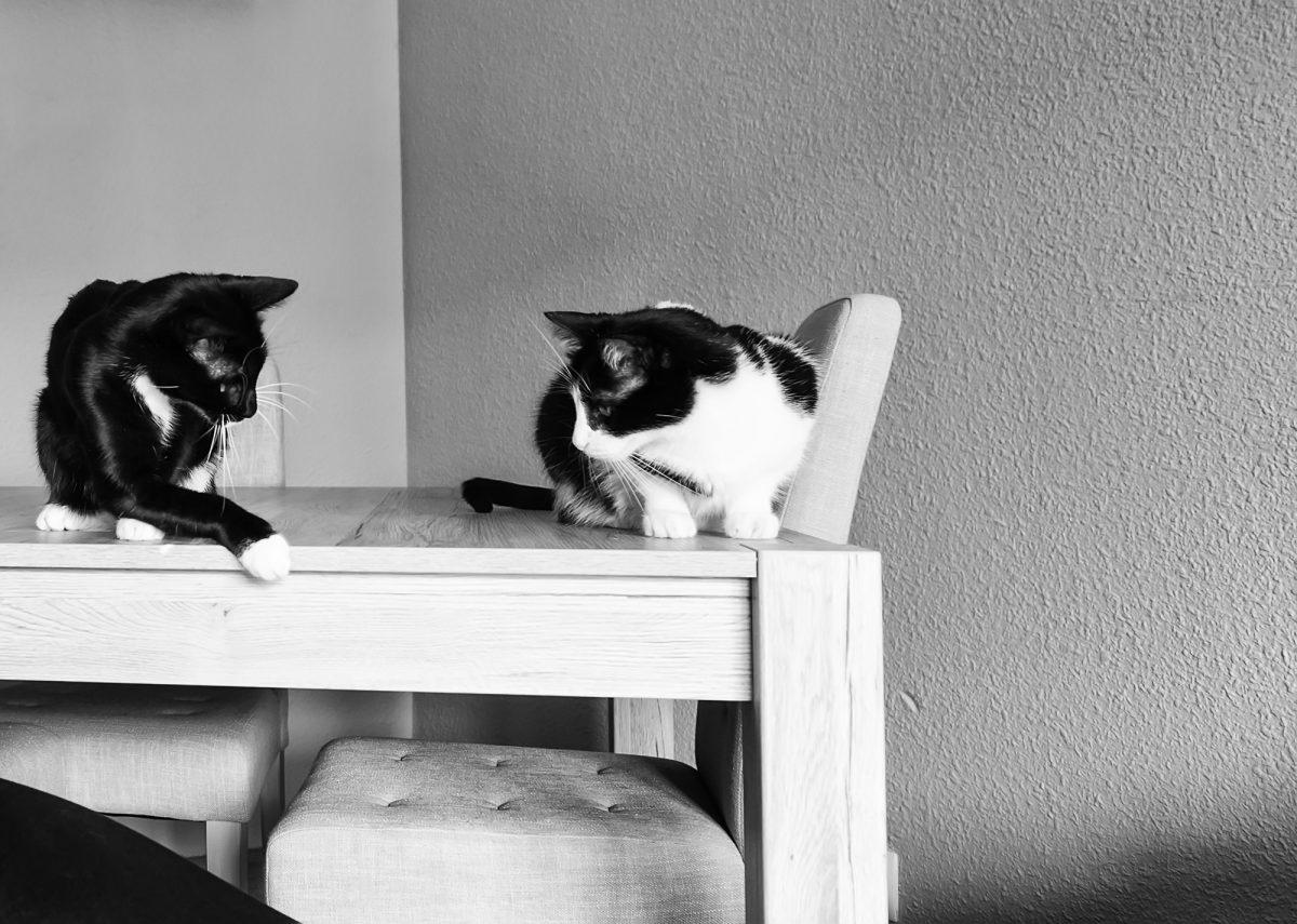Nowy kot w stadzie - jak go wprowadzić?