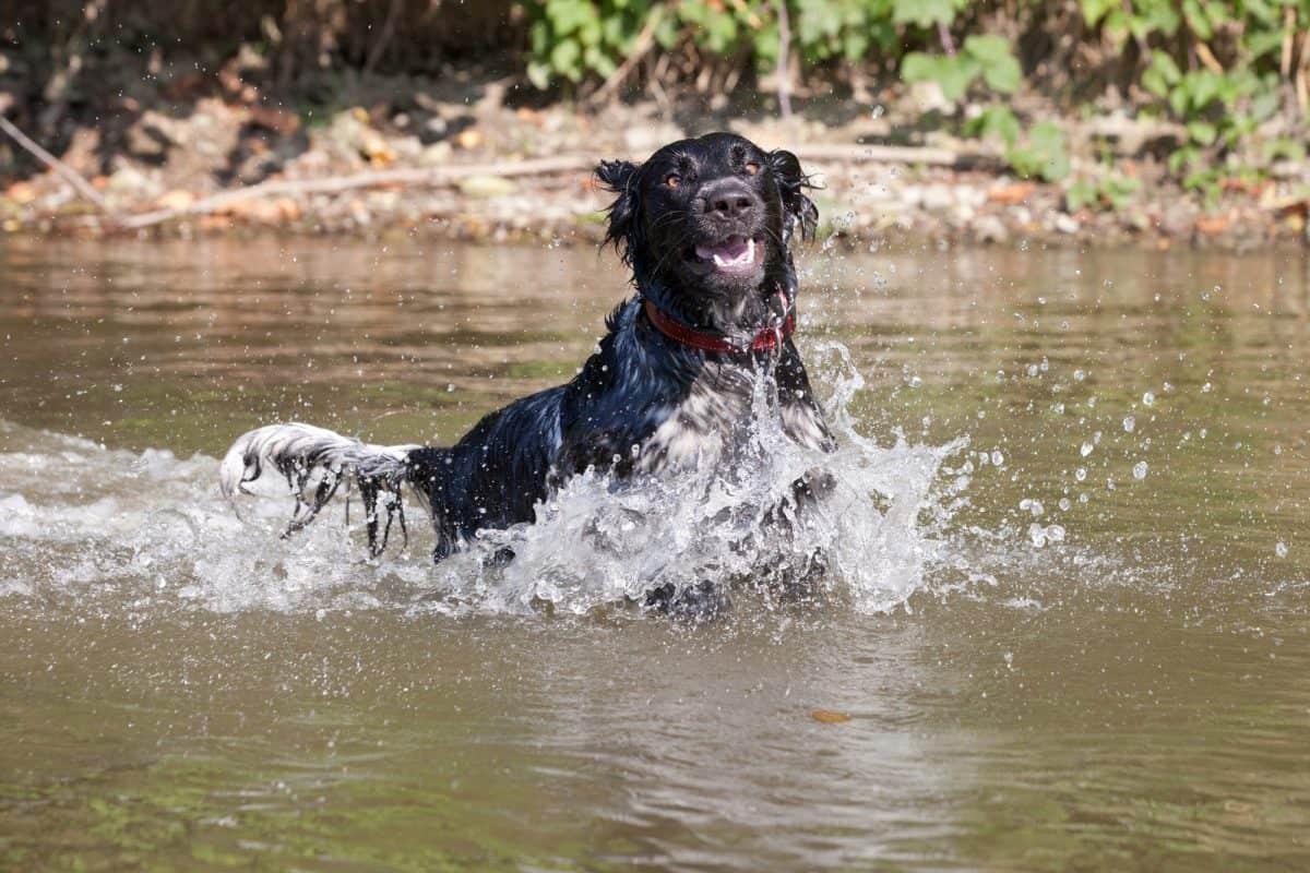 Pielęgnacja psich uszu jest szczególnie ważna u psów, które mają długie, ciężkie uszy.