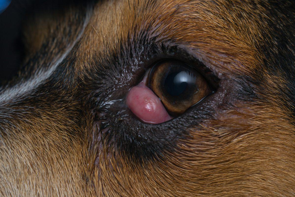 Trzecia powieka u psów i kotów jest zupełnie naturalnym zjawiskiem.