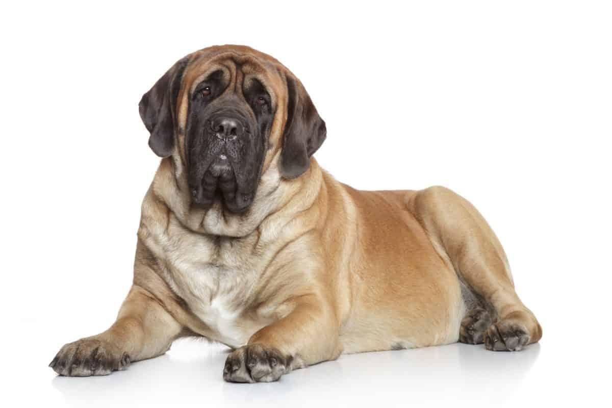 Skręt żołądka może być zagrożeniem dla życia psa.