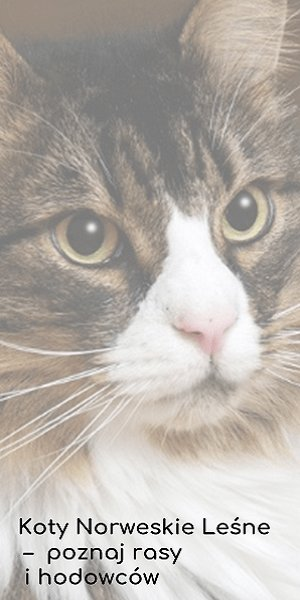 Koty Norweskie Leśne - poznaj rasy i hodowców