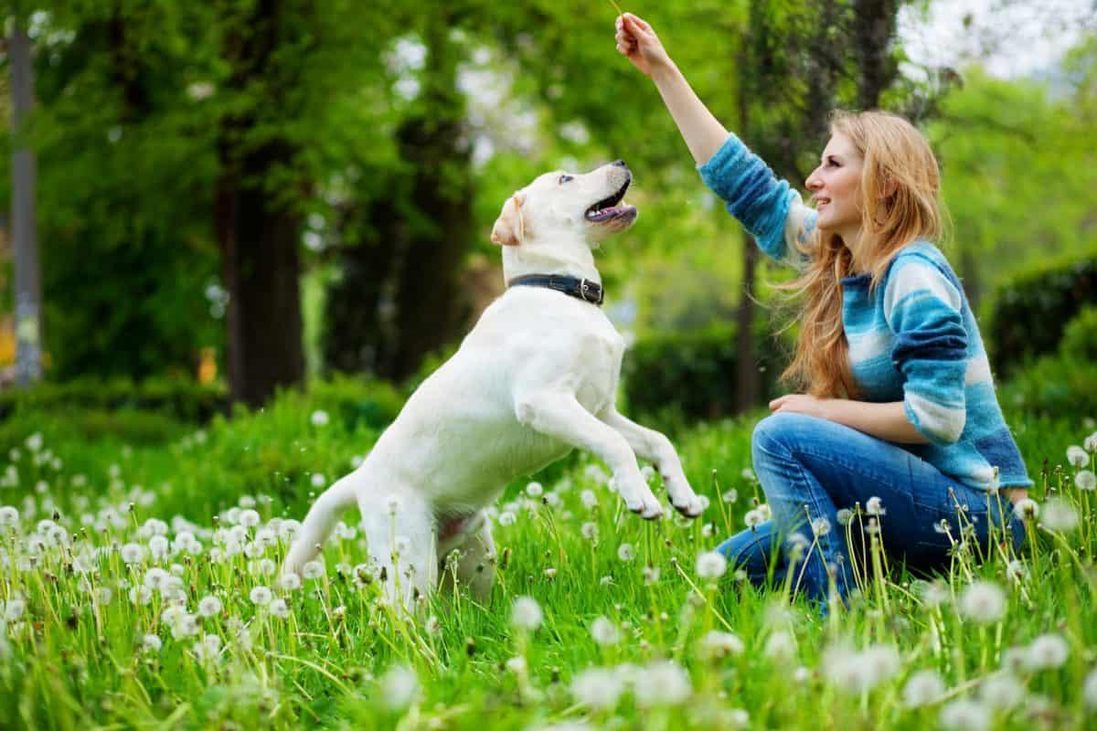 Rola wolontariusza jest kluczowa w procesie szkolenia psów przewodników