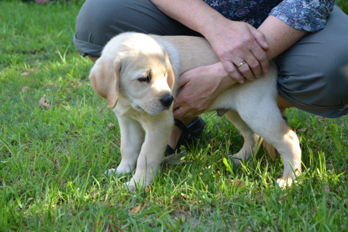 Testy predyspozycji dla przyszłych psów przewodników
