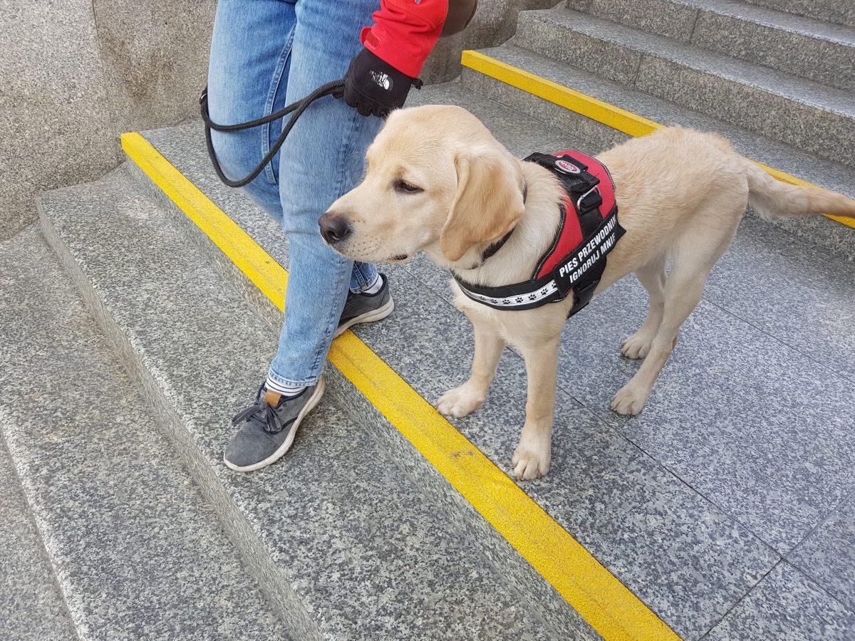 Testy predyspozycji robi się zanim pies zacznie szkolenie.