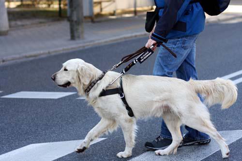 Czego pies się uczy? Przechodzić bezpiecznie przez ulicę, znajdować i wskazywać różne miejsca.