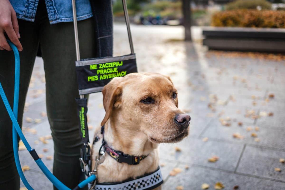 Przekazanie psa przewodnika osobie niewidomej